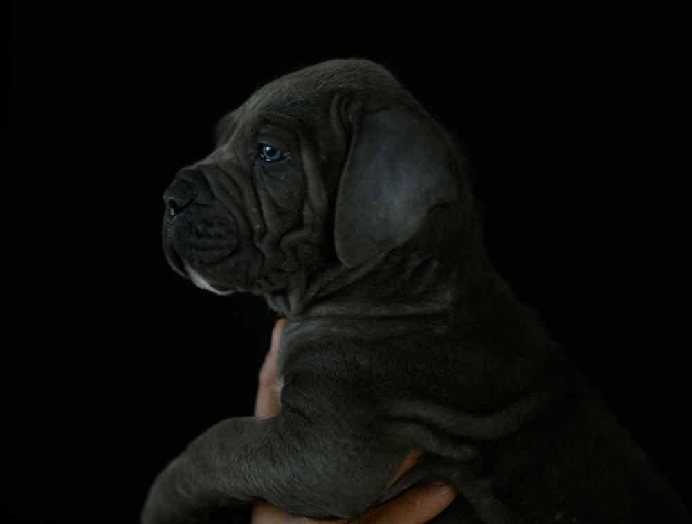 Donde comprar perro cane corso y venta de cachorros de cane corso en Valencia1