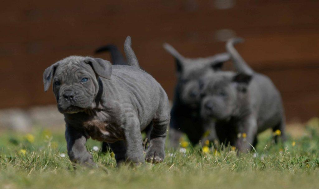 Donde comprar un cachorros de cane corso en Santa Cruz de Tenerife Canarias2