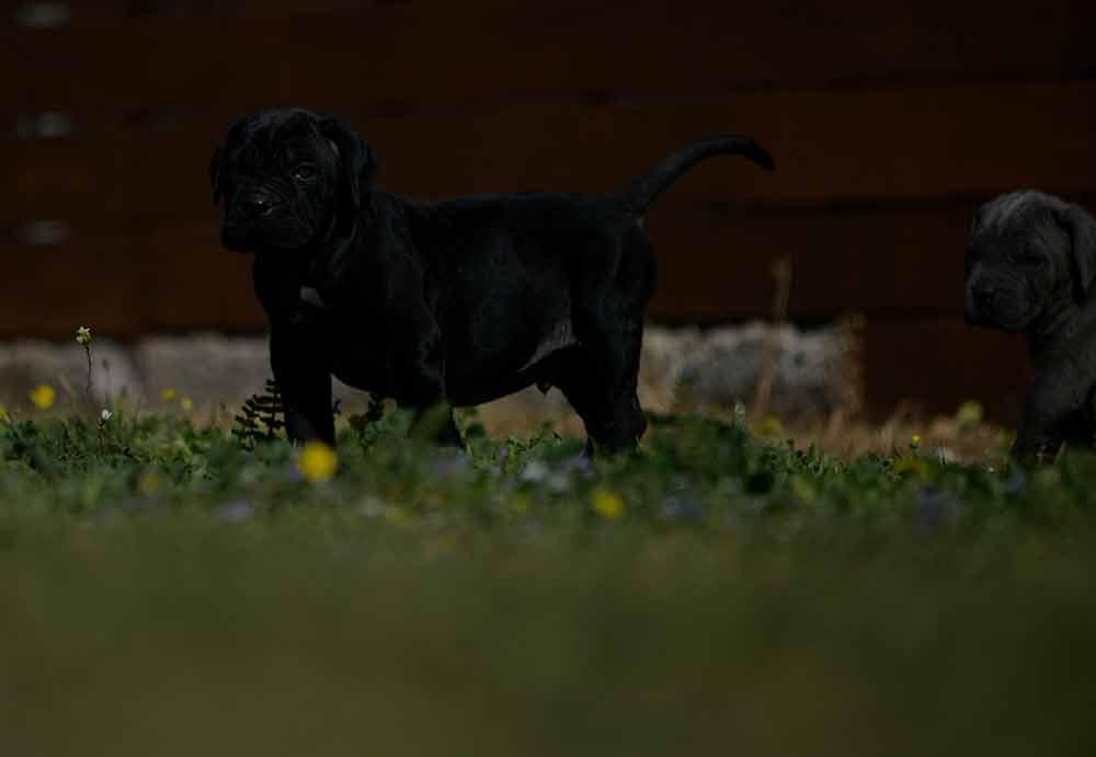 Donde comprar un cane corso en Burgos Y Criadores en Castilla Leon