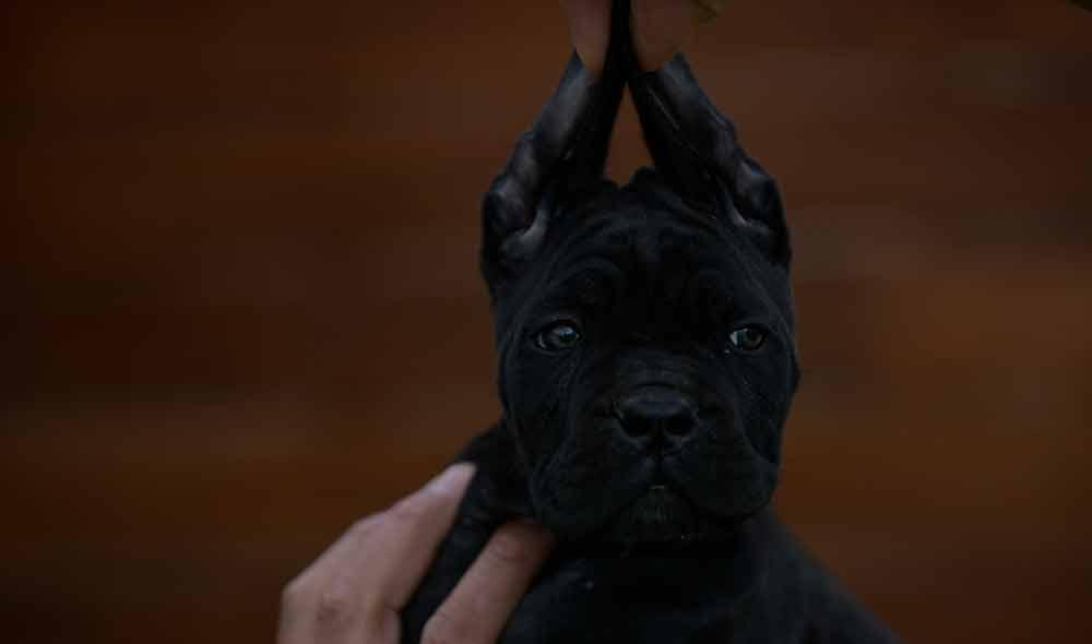 Donde comprar un cane corso italiano en Ciudad Real y Criadores de cane corso en Castilla La Mancha2