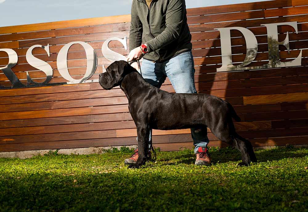 Donde comprar un cane corso y Venta de cachorros en Zaragoza