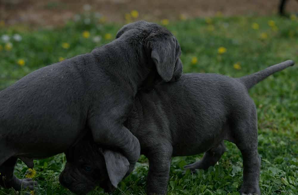 Donde comprar un perro cane corso en Cordoba Y Criadores de cane corso en Andalucia1