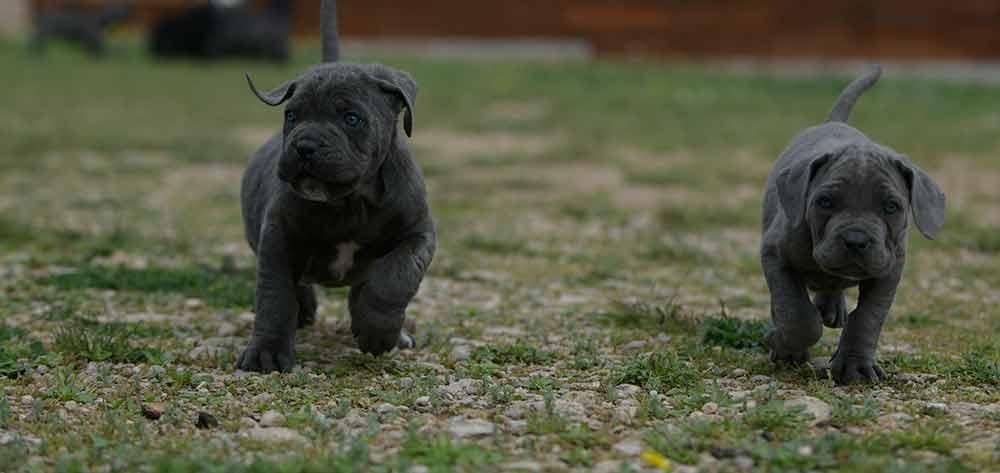 Donde comprar un perro cane corso en Cordoba Y Criadores de cane corso en Andalucia2