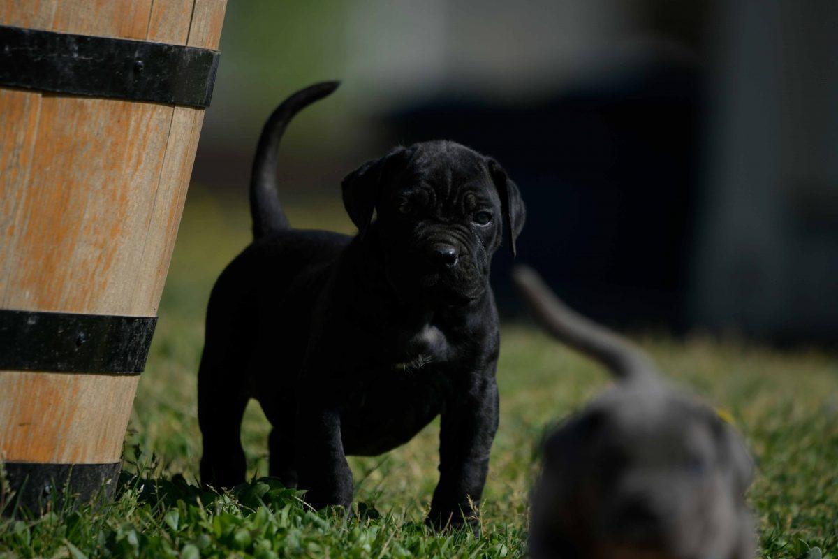 Donde comprar un perro cane corso en Oviedo y Criadores de cane corso en Asturias2