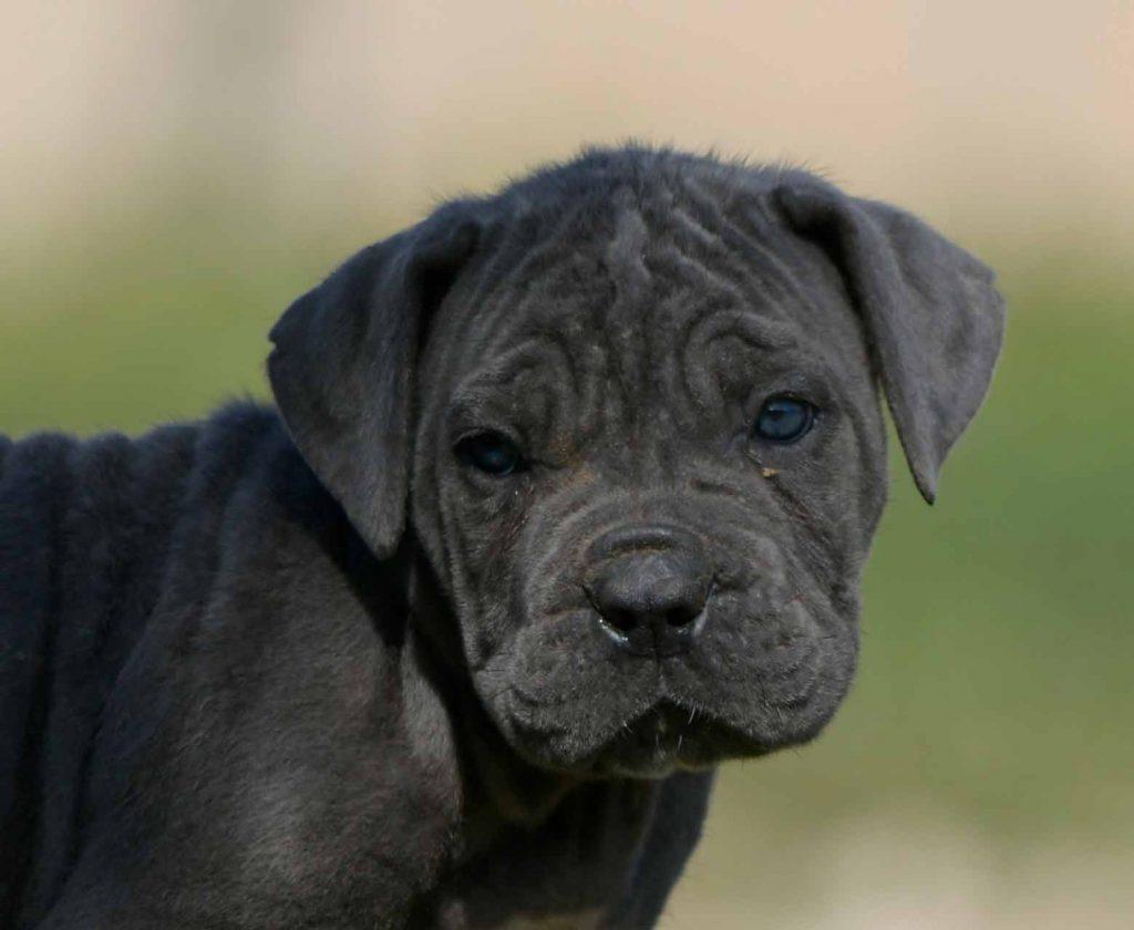 Venta de perro cane corso italiano y criadores de cane corso en Jalisco2