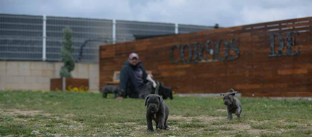 Where buy cane corso and breeders of italian mastiff in Arlington