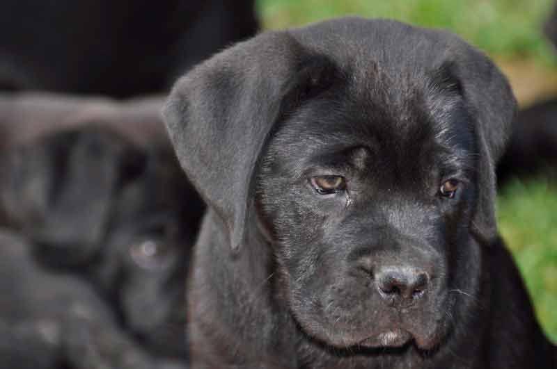 breeders of cane corso in alaska and Italian mastiff puppies