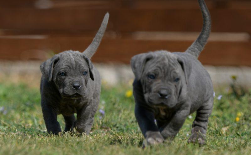 breeders of italian mastiff in charlotte and for sale cane corso puppies in North Carolina