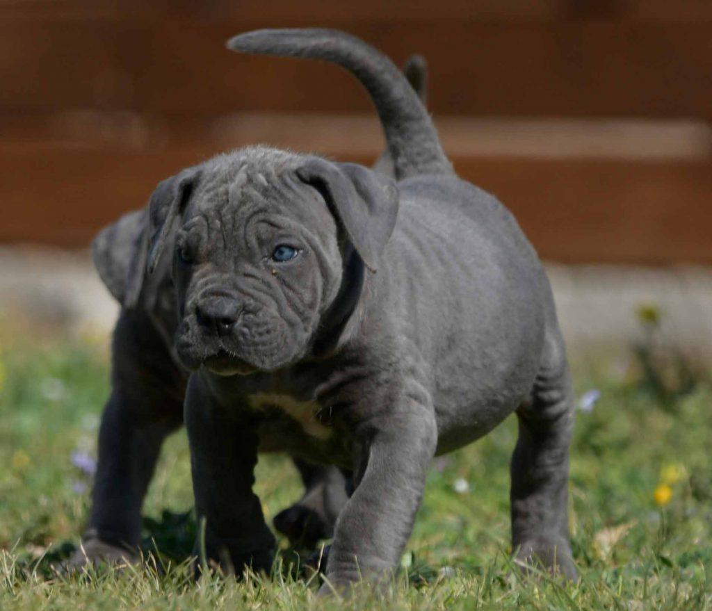 breeders of italian mastiff in charlotte and for sale cane corso puppies in North Carolinaok2