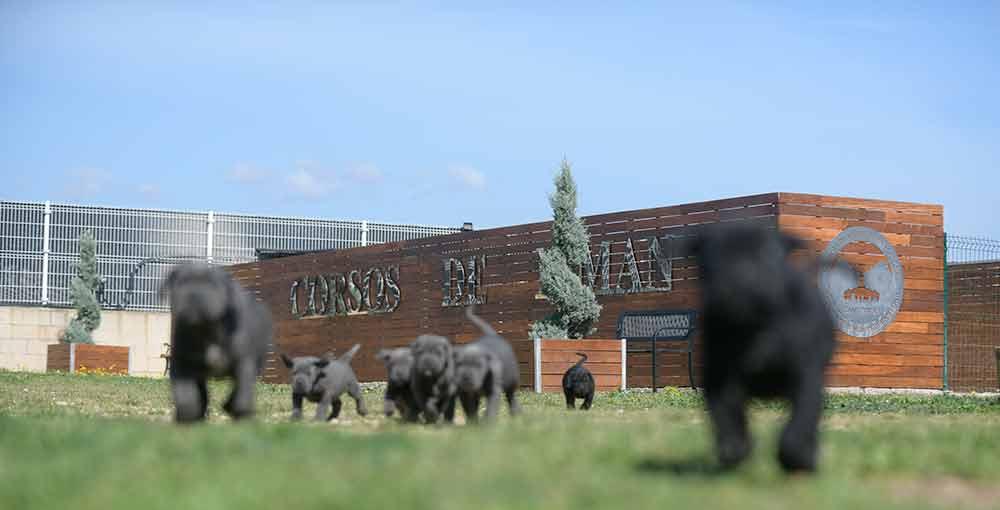 buy Cane corso in Sacramento and breeders of Italian mastiff in California2