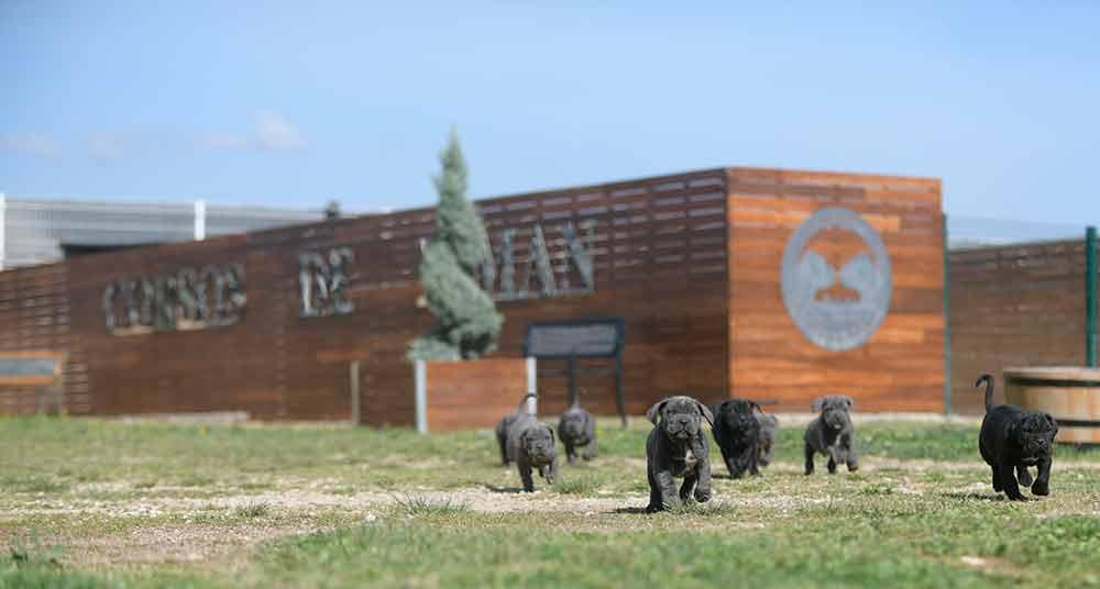 buy cane corso in bakersfield and breeders of italian mastiff in Kern2
