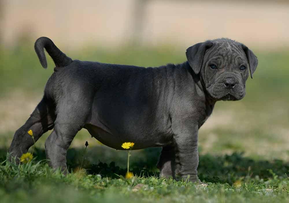 buy italian mastiff in el paso tx and where find cane corso breeders in texas1