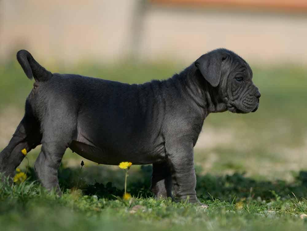buy italian mastiff in el paso tx and where find cane corso breeders in texas2