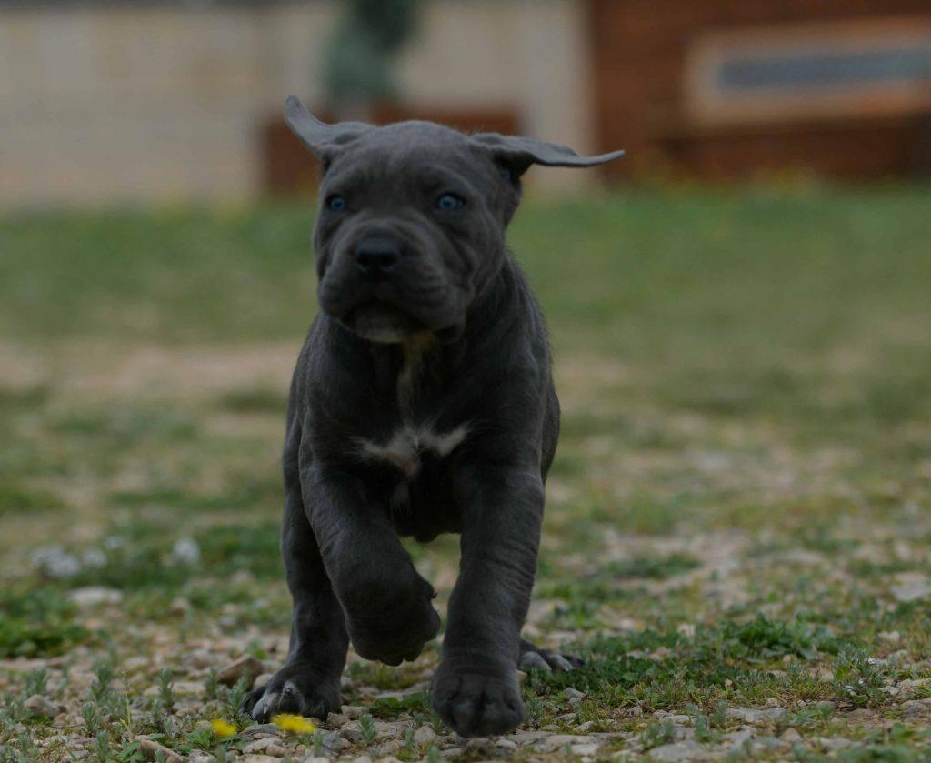 comprar cachorros de cane corso en Las Palmas de Gran Canarias y criadores de cane corso en Gran Canarias2