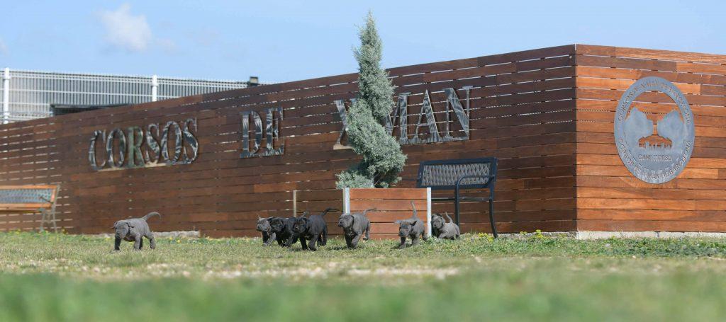 comprar cachorros de cane corso en Pamplona y criadores de cane corso en Navarra1