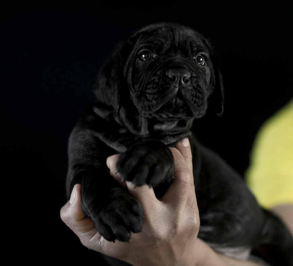 comprar cane corso en Aguascalientes y Criadores de Cane corso en Mexico