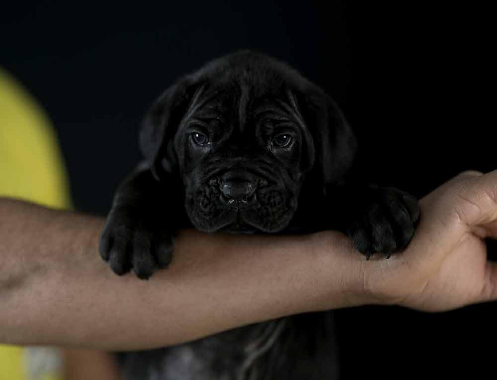 comprar cane corso en Aguascalientes y Criadores de Cane corso en Mexico1