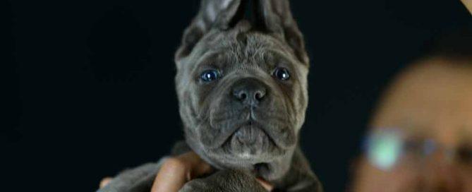 comprar cane corso en Menorca y criadores de cane corso en las Islas Baleares1