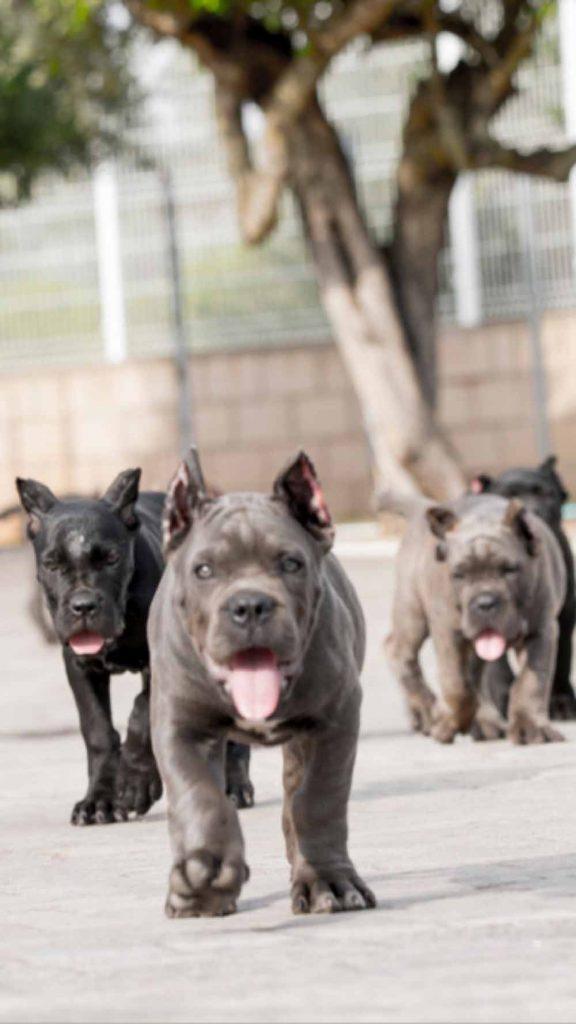 comprar cane corso en Puebla Mexico y venta de los mejores cachorros de cane corso en Mexico2