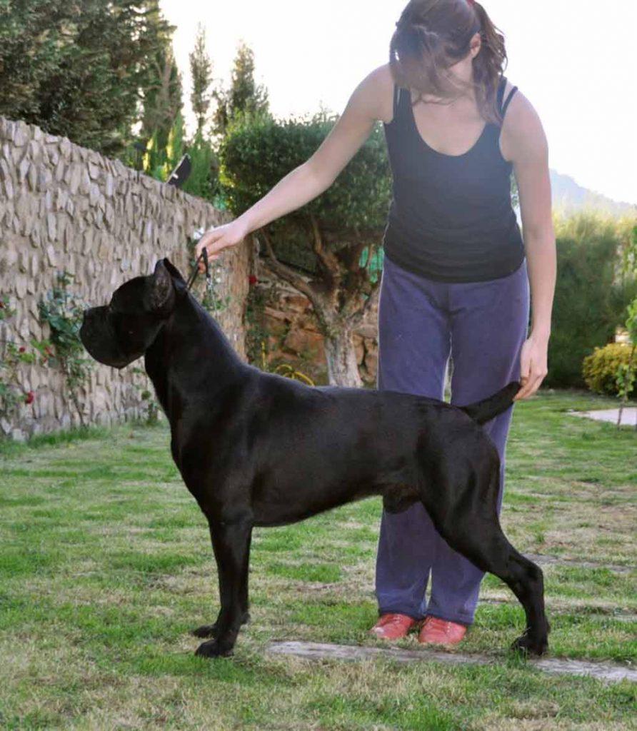comprar cane corso en veracruz y criadores de perro cane corso en Mexico