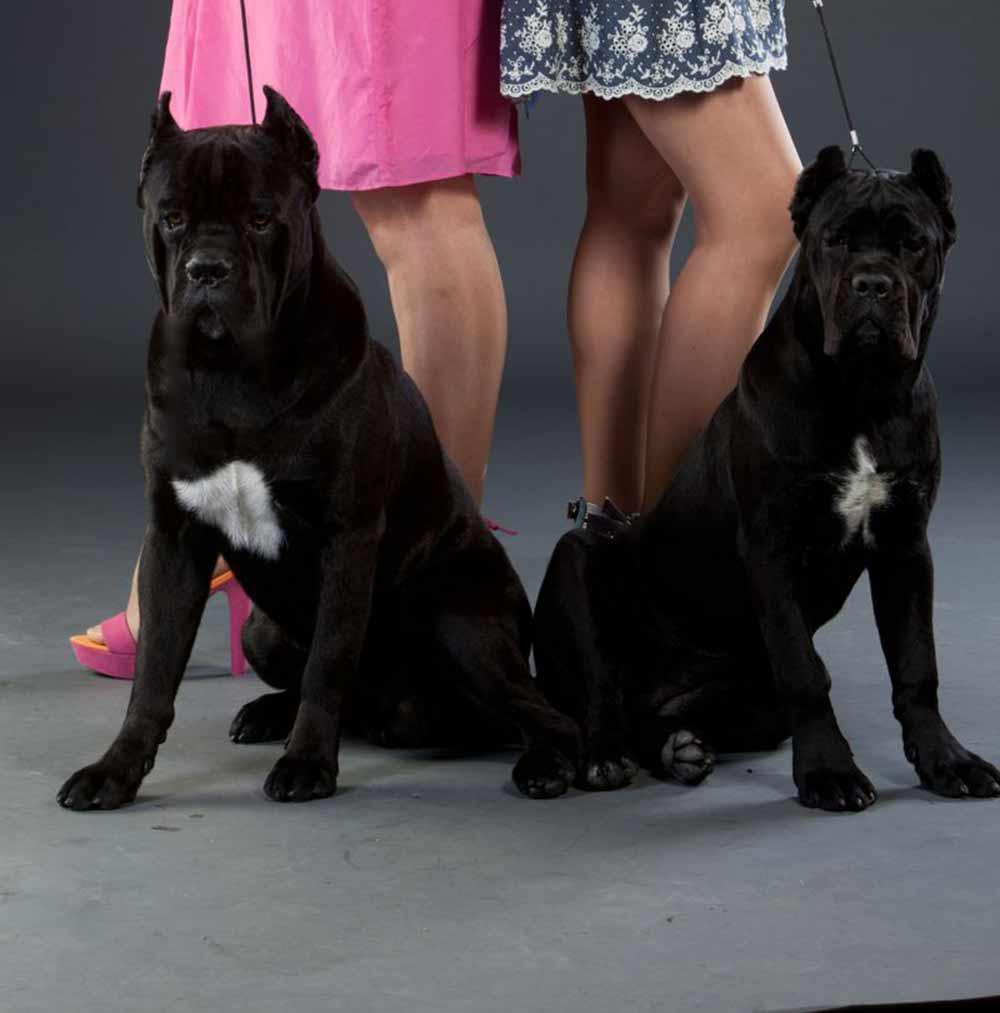 comprar cane corso en veracruz y criadores de perro cane corso en Mexico2