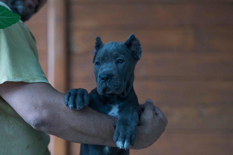 comprar cane corso italiano y venta de los mejores cachorros de cane corso en Buenos Aires
