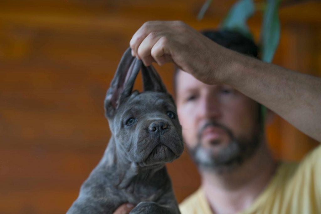 comprar cane corso italiano y venta de los mejores cachorros de cane corso en Buenos Aires1