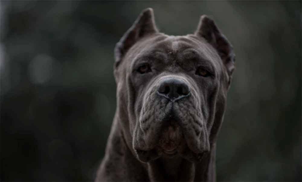 comprar cane corso y los mejores cachorros de cane corso en Nicaragua