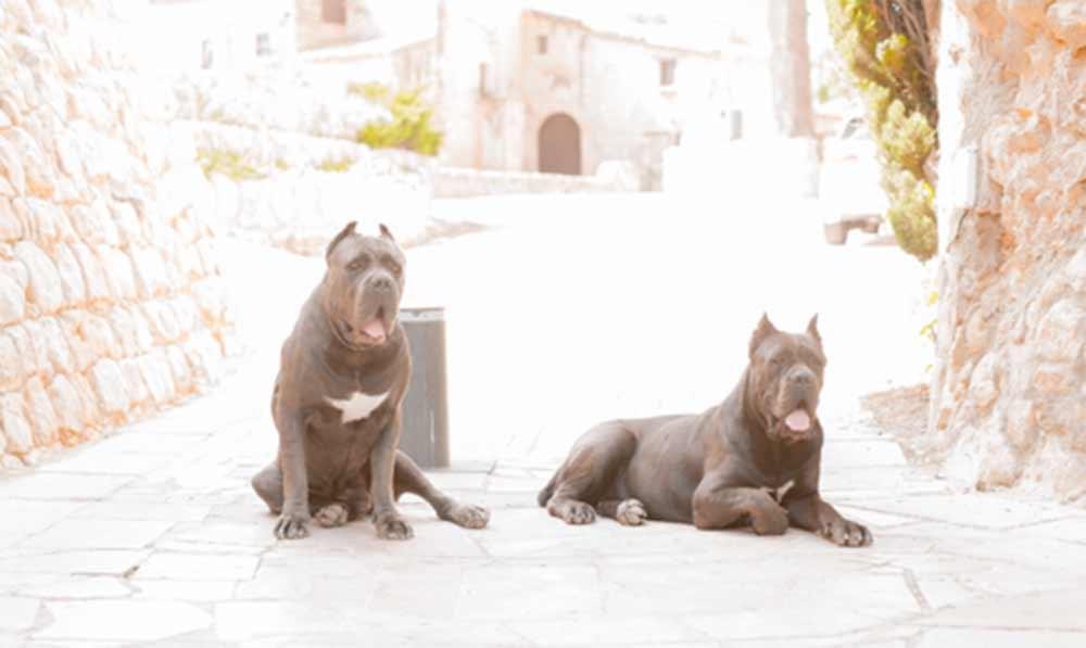 comprar cane corso y los mejores cachorros de cane corso en Nicaragua2