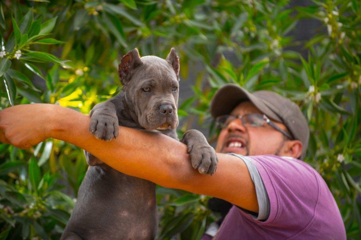 comprar cane corso y venta de cachorros de cane corso en Argentina