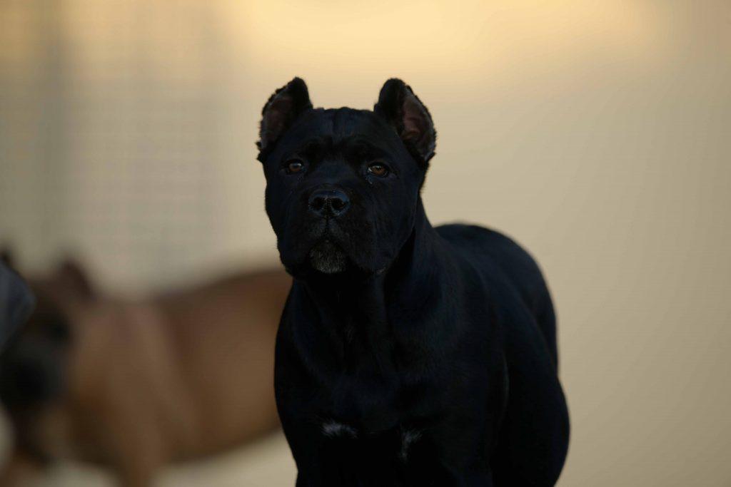 comprar en cane corso guayaquil Ecuador y venta de los mejores cachorros de cane corso en Ecuador3