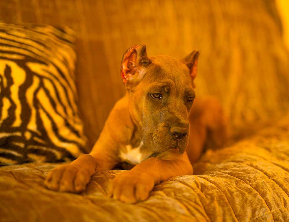 criaderos de perros cane corso en paraguay Venta de cachorros de cane corso Italiano