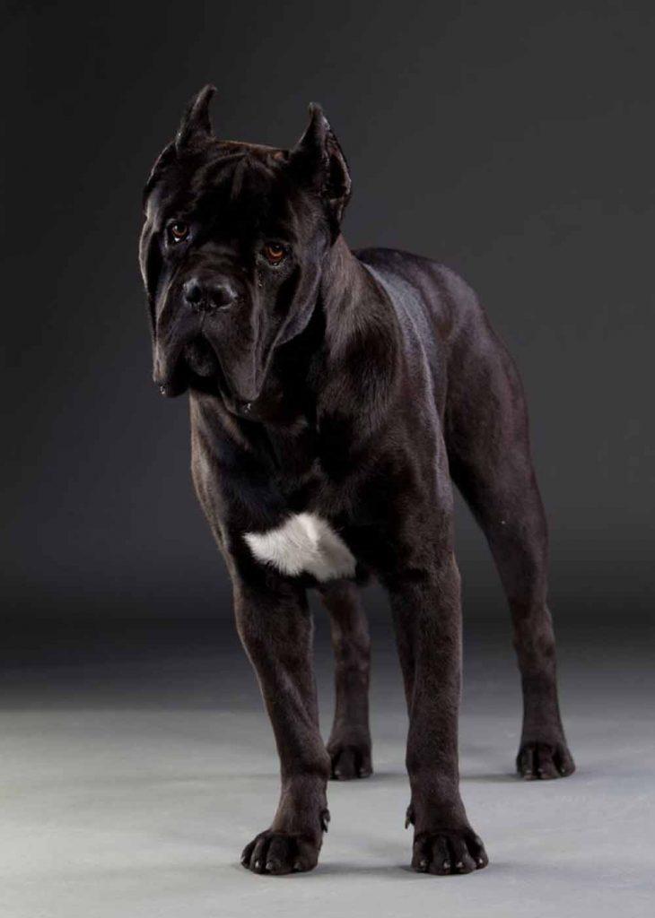 criaderos de perros cane corso en paraguay Venta de cachorros de cane corso Italiano2