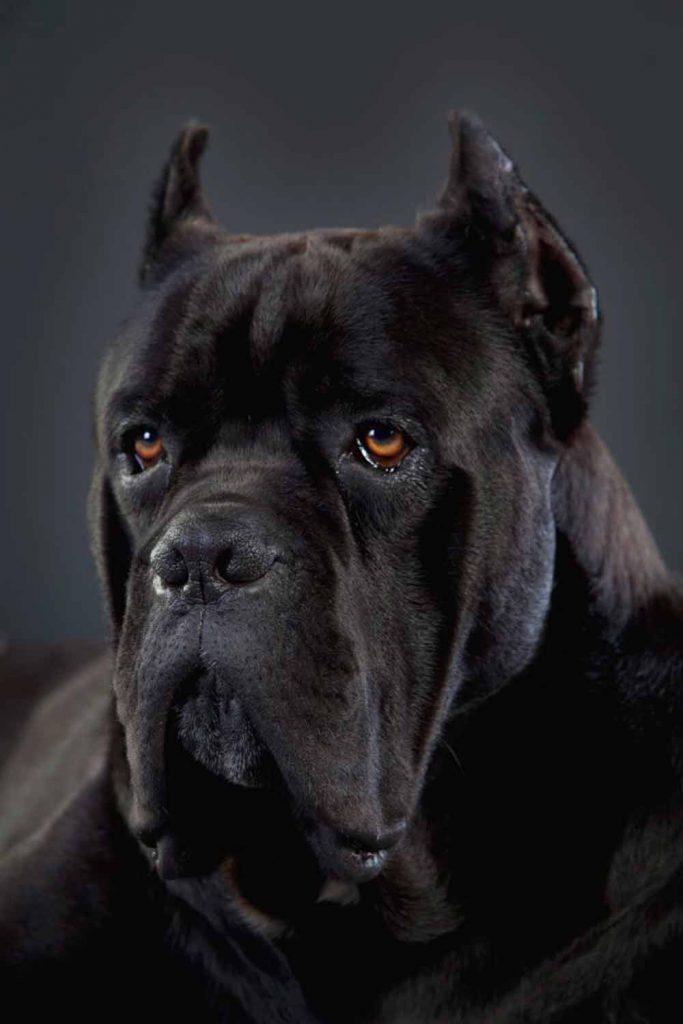 criaderos de perros cane corso en paraguay Venta de cachorros de cane corso Italiano3