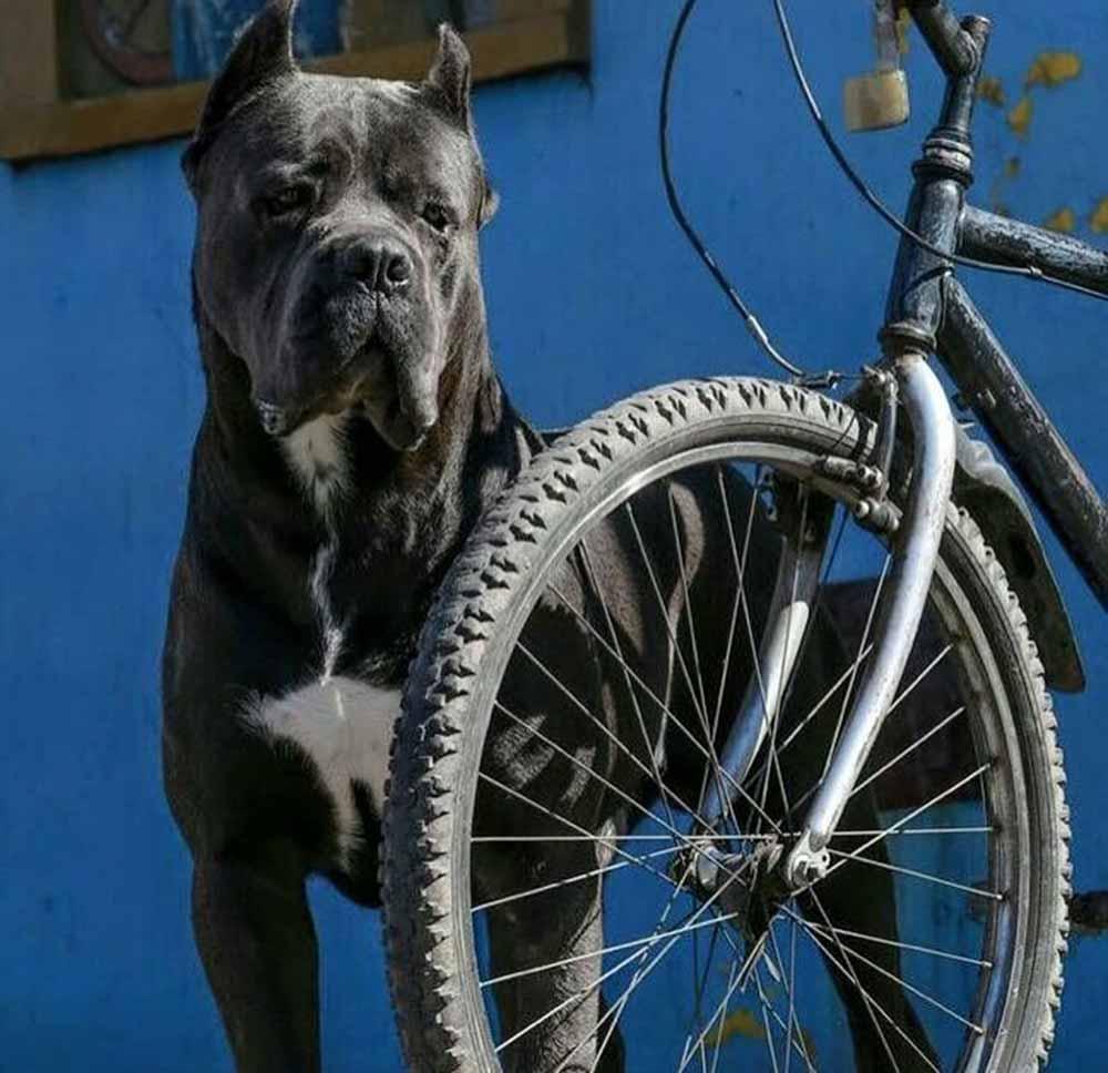 donde comprar cane corso y venta de cachorros de cane corso en Puebla Mexico
