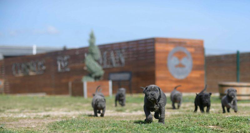 donde comprar perro cane corso y venta de cachorros de cane corso en Zaragoza1