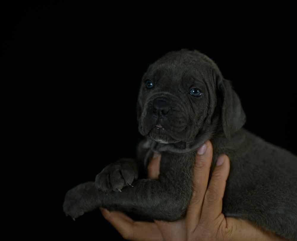 donde comprar perro cane corso y venta de cachorros de cane corso en Zaragoza2