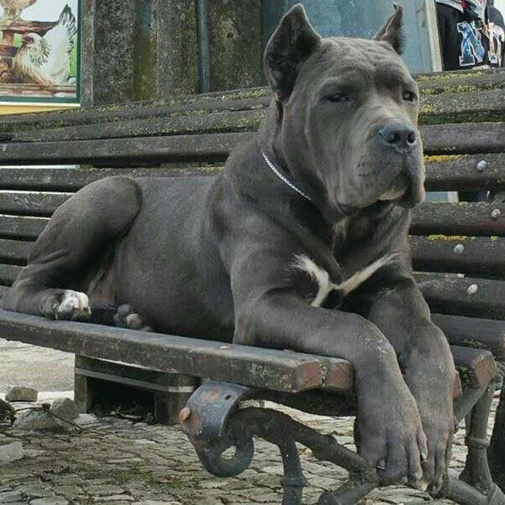 donde comprar un cane corso y venta de cahorros de cane corso en León Guanajuato3