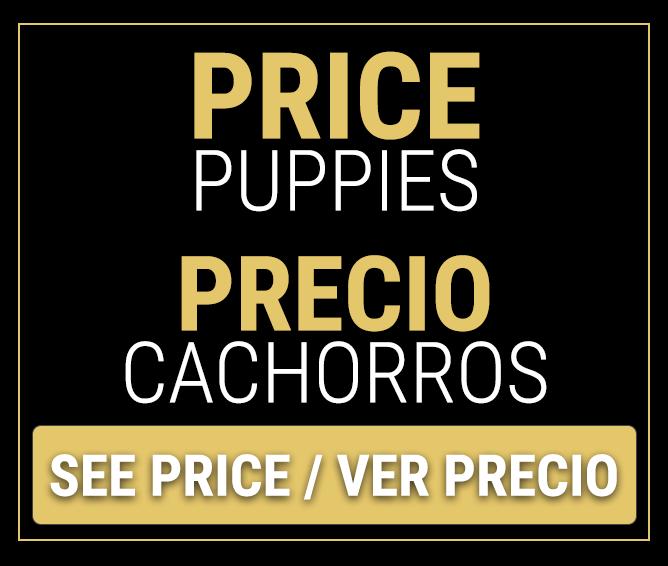 cane corso puppy price - Precio cachorros cane corso