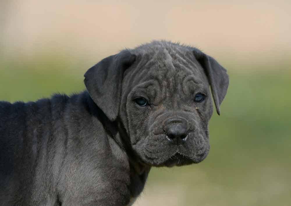 venta de Cane corso en Pachuca de Soto y cachorros en Hidalgo2