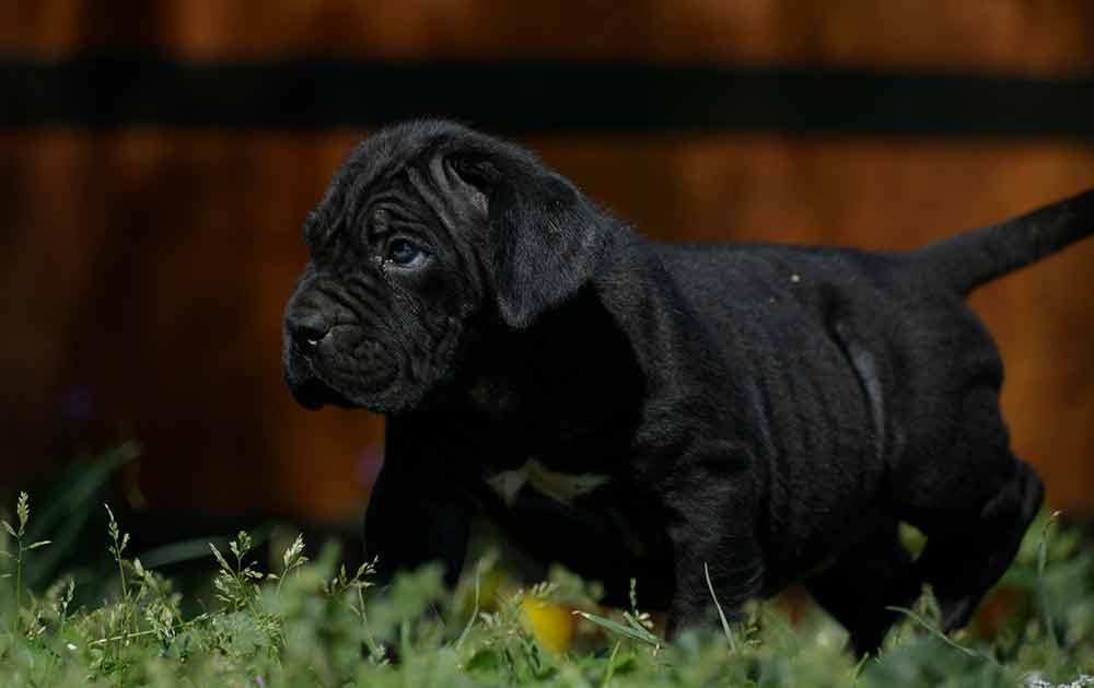 venta de cane corso Guanajuato y cachorros disponibles en Mexico