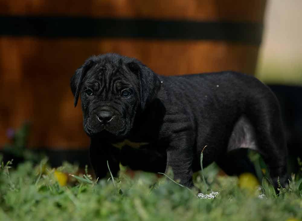 venta de cane corso Guanajuato y cachorros disponibles en Mexico2