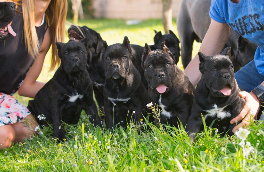 venta de cane corso donde comprar los mejores cachorros de cane corso italiano en Mexico3