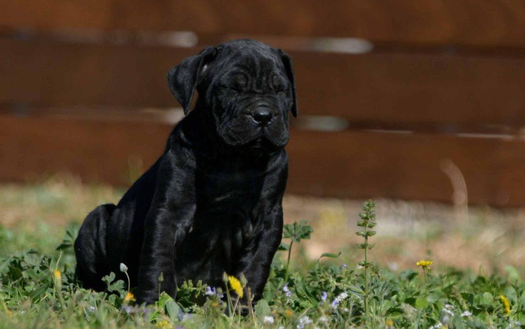 venta de cane corso en Guerrero y criadores de cane corso en Chilpancingo de los Bravo Mexico