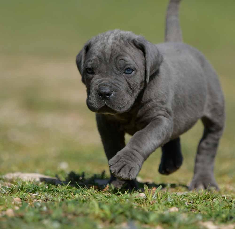 venta de cane corso y comprar cachorros en campeche mexico2