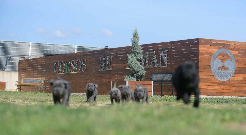 where buy cane corso in Corpus Christi and breeders of cane corso in Texas