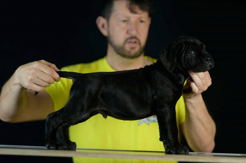 where buy cane corso puppies in Riverside and breeders of italian mastiff in CA1