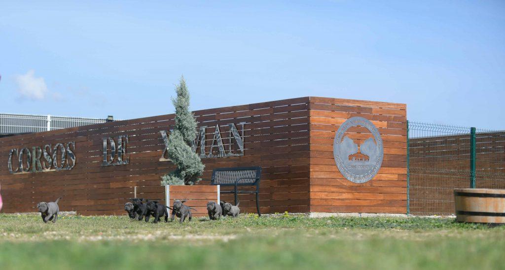 where buy cane corso puppies in Riverside and breeders of italian mastiff in CA2