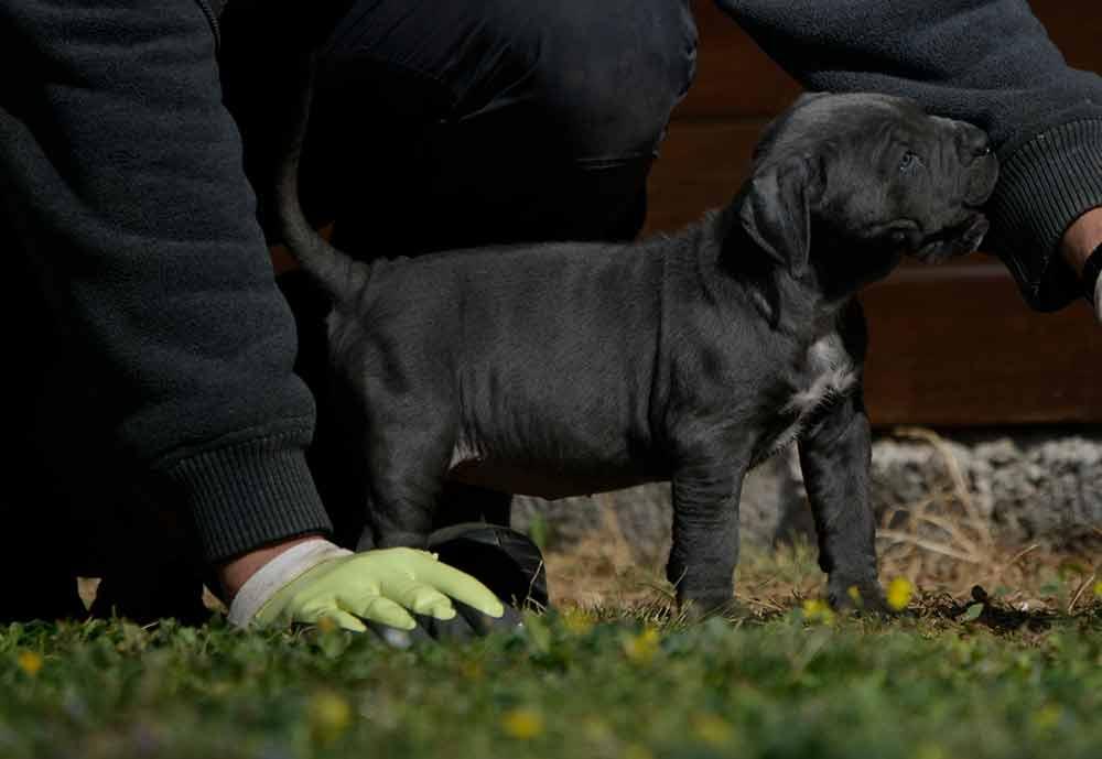 where buy cane corsos in milwaukee and breeders of italian mastiff in Wisconsin1