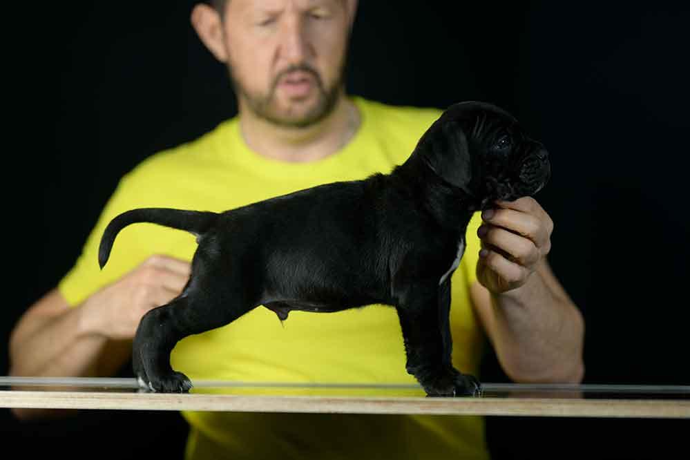 Buy Italian mastiff in Ontario and for sale cane corso puppies in Canada